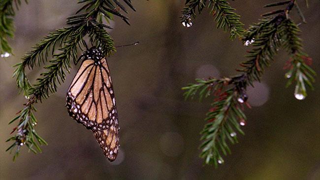 tlmd_mariposas_monarcas_mexico1