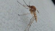 Mosquito-Jersey-Shore