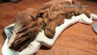 TLMD-canada-yukon-animales-momias-
