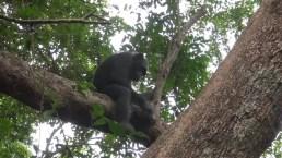 Revelan cómo los chimpancés son capaces de alimentarse de tortugas