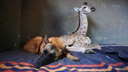 Inseparables: el perro que cuida de una jirafa bebé