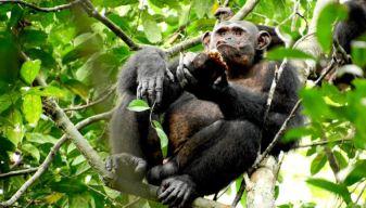 Captan a monos comiendo tortuga, te sorprenderá por qué
