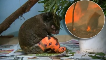 Viral: el destino del koala hallado entre las llamas
