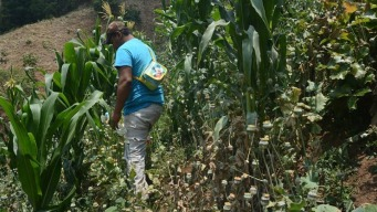 Cultivo de amapola, opción de vida para miles