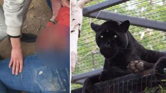 Jaguar ataca a una mujer en zoológico de Arizona