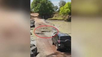Cocodrilos bloquean el paso de auto en peligrosa carretera