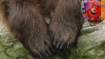 """Increíble escape: oso irrumpe en una casa """"como el hombre 'Kool-Aid'"""", según la policía"""
