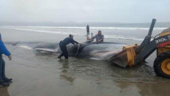 Más de 6 horas para salvar a ballena que no resistió