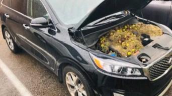 Ardillas esconden 200 nueces en motor de camioneta