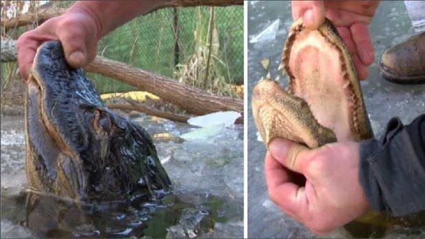 Insólito: caimanes congelados tras el frío, así sobreviven