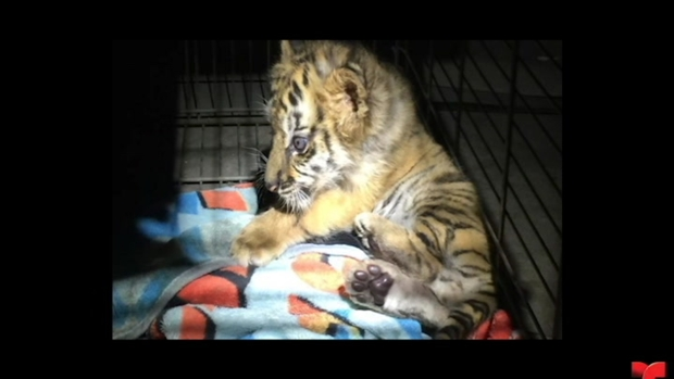 [TLMD - SD] Encuentran tigre de bengala cachorro en la frontera
