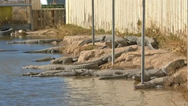 Video: Hombre alimenta reptiles en un pantano
