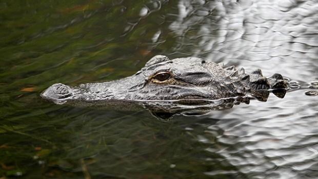 Video: Florida: Capturan un enorme caimán