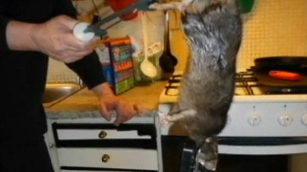 "Video: No era Ratatouille, sino ""Ratzilla"""