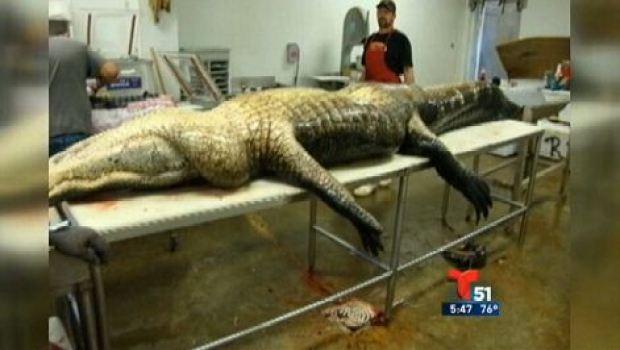 Video: Capturan un enorme cocodrilo