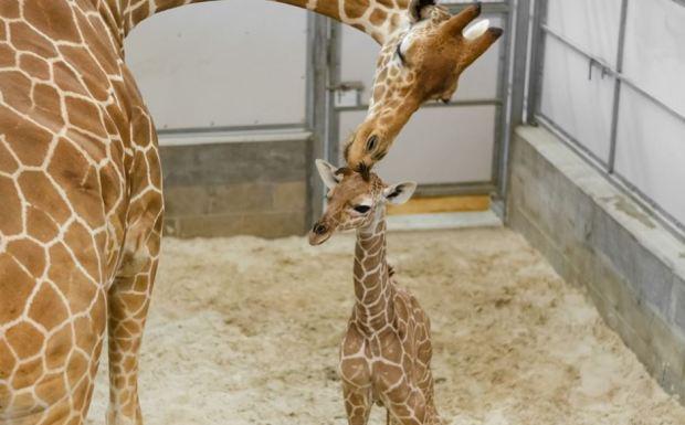 [TLMD - NATL] Mamá al rescate: bebé jirafa da sus divertidos primeros pasitos