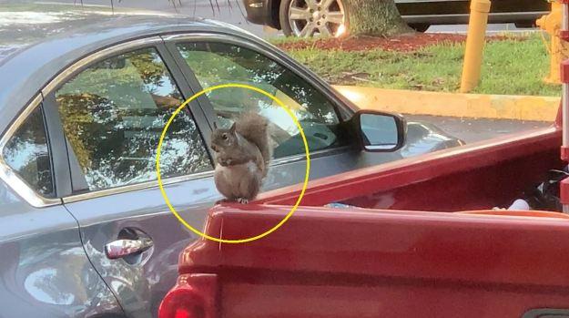 """[TLMD - NATL] Insólito: Ardilla """"ladrona"""" se roba de un auto algo inesperado"""