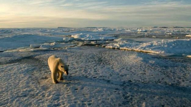 Desgarrador: captan oso polar muriendo de hambre