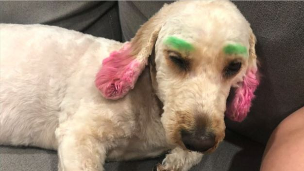 """¡Furiosa! Llevó su perro al spa y le devolvieron un """"payaso"""""""