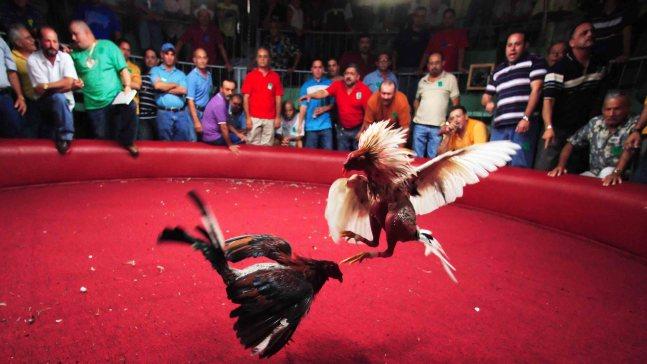 EEUU prohíbe peleas de gallos en todos sus territorios
