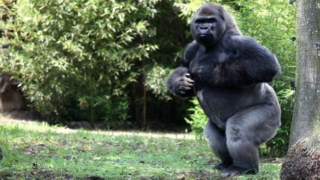 Muere Bantú, único gorila macho en México