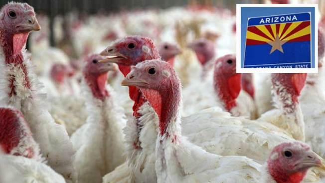 Investigan posible llegada de gripe aviar en Arizona