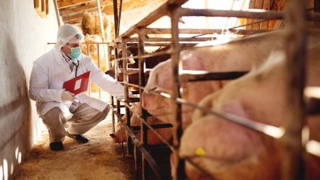 Científicos reviven parcialmente cerebro de cerdos muertos