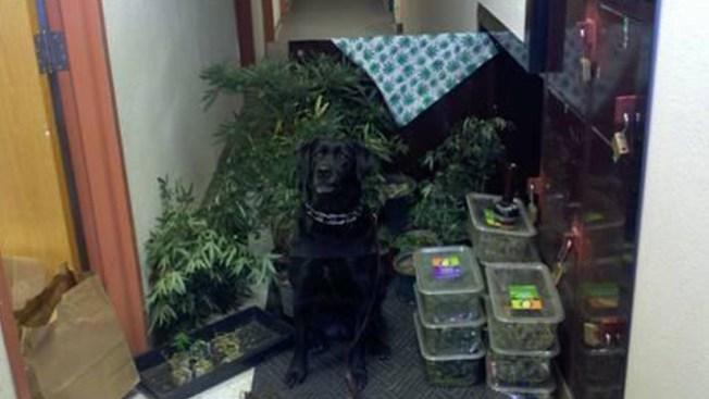 Descubren plantación de marihuana