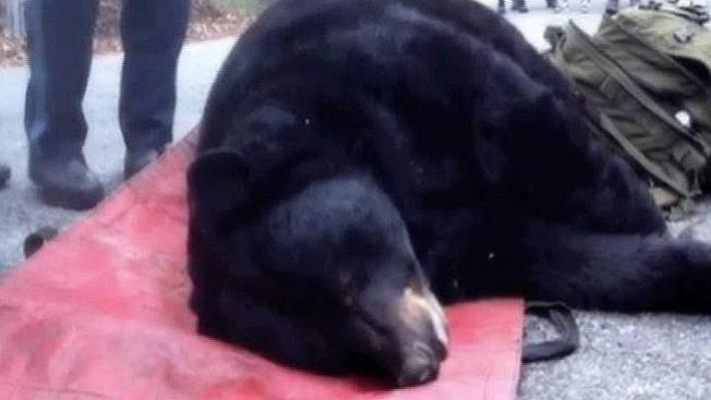 Encuentra a un oso dormido en un sótano