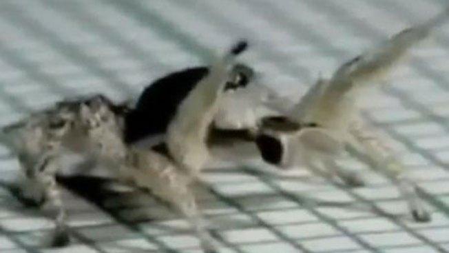 La araña más salsera del mundo