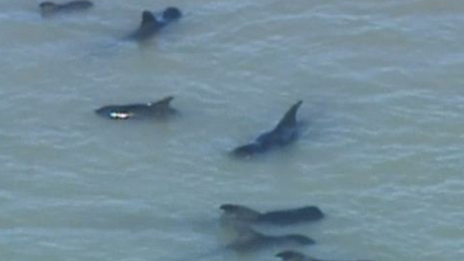 Se salvan de morir 40 ballenas varadas