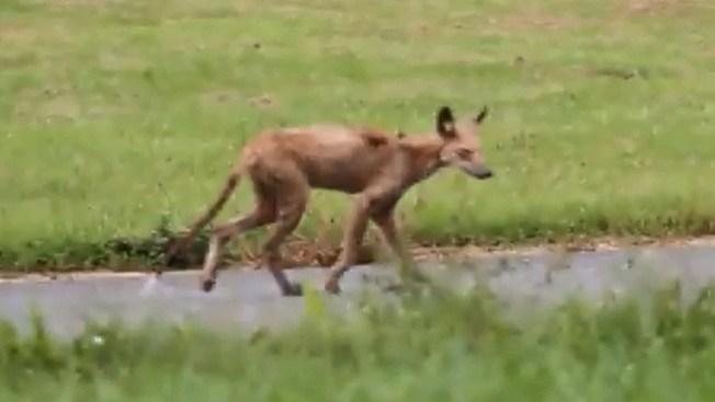 Temen por chupacabras en Nueva Jersey