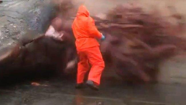 Impacto: explota estómago de cachalote