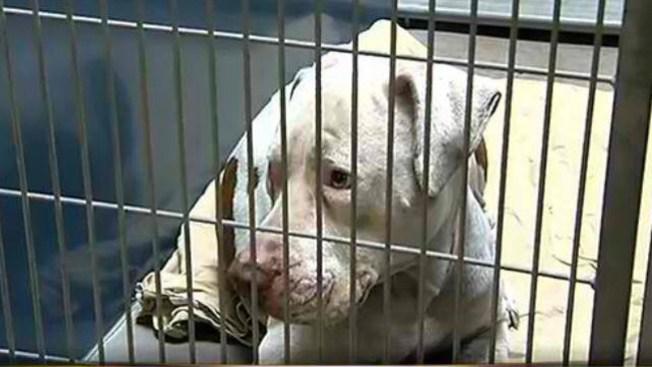 Cárcel de por vida a Pitbull en Phoenix