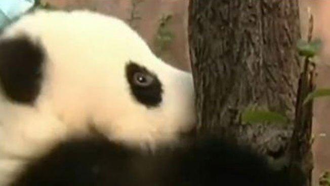 Bebés panda intentan subir a árbol