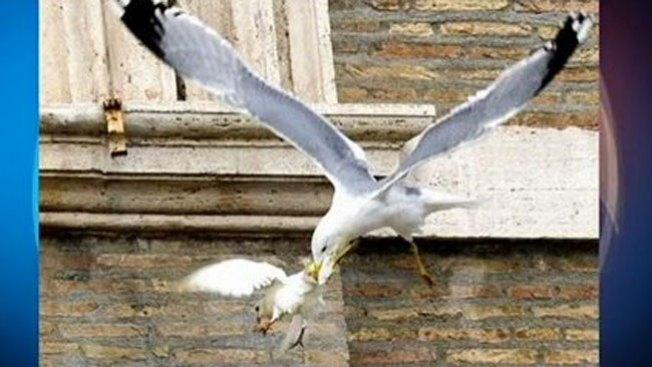 Aves atacan a dos palomas del Vaticano