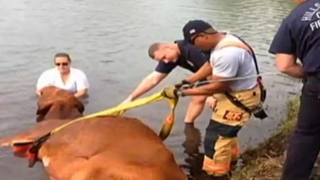 Rescatan una vaca a punto de ahogarse