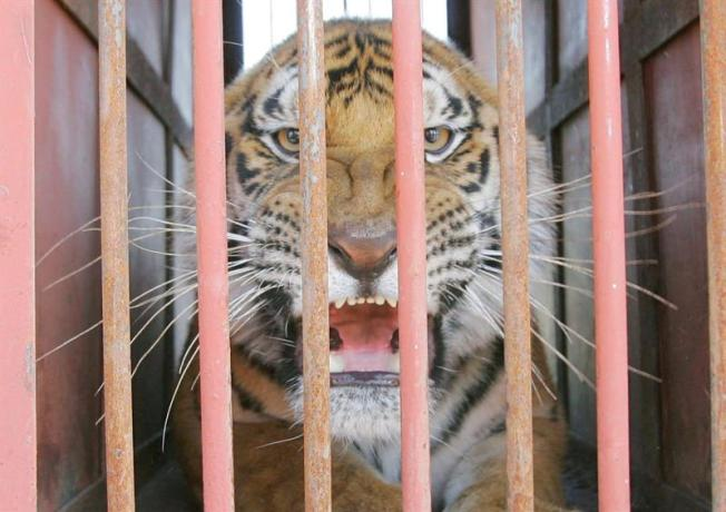Mujer china atacada por un tigre sigue grave